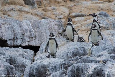 Humboldt Penguin (Spheniscus humboldti) - Pucusana