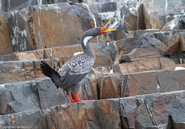 Red-legged Cormorant (Phalacrocorax gaimardi) - Pucusana