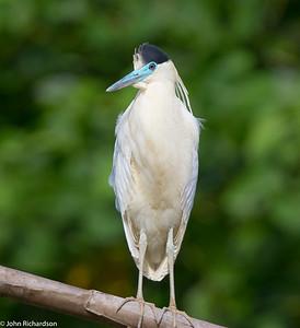 Capped Heron (Pilherodius pileatus) - Manu Biosphere Reserve