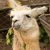 Llama munching on leaves, Lima, Peru