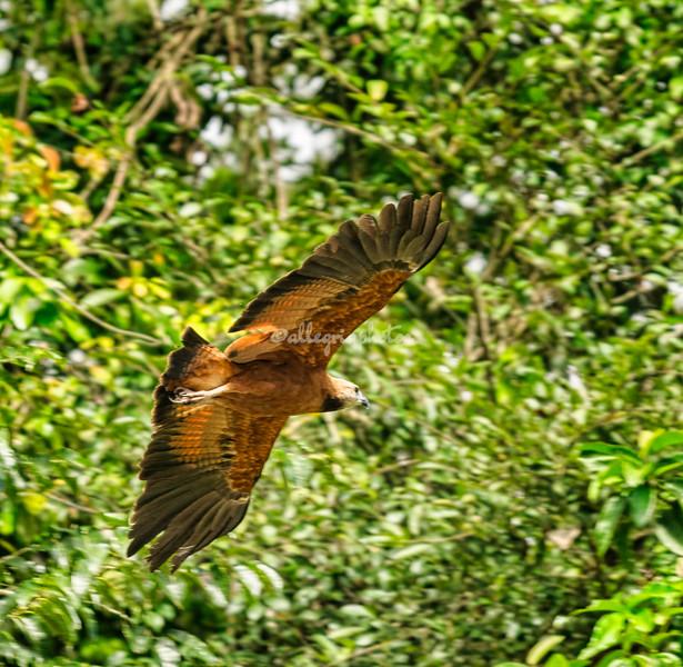Black collared hawk