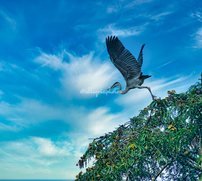Cocoi or white chested heron