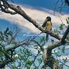 Lettered toucan