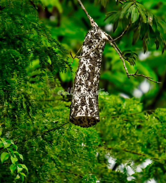 Bell Wasp Nest