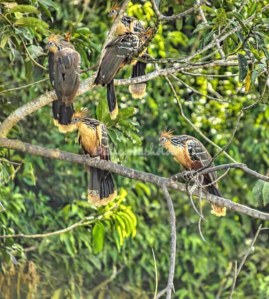 Hoatzin birds
