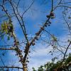 Cannonball fruit tree