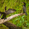 Neo Tropical Cormorants