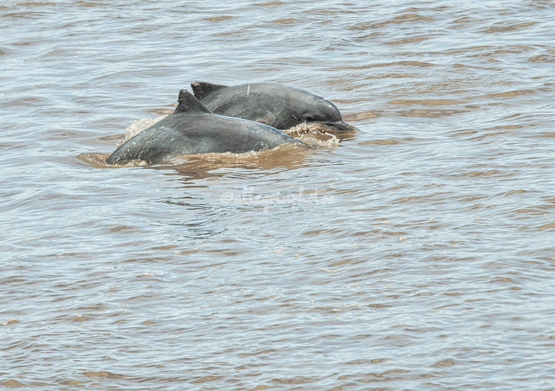 Freshwater grey river dolphins