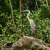 Cocoi or white necked heron