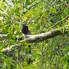 Saddleback tamarin monkey