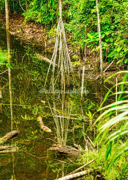 Walking stilt palm tree
