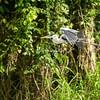 Cocoi or white necked heron