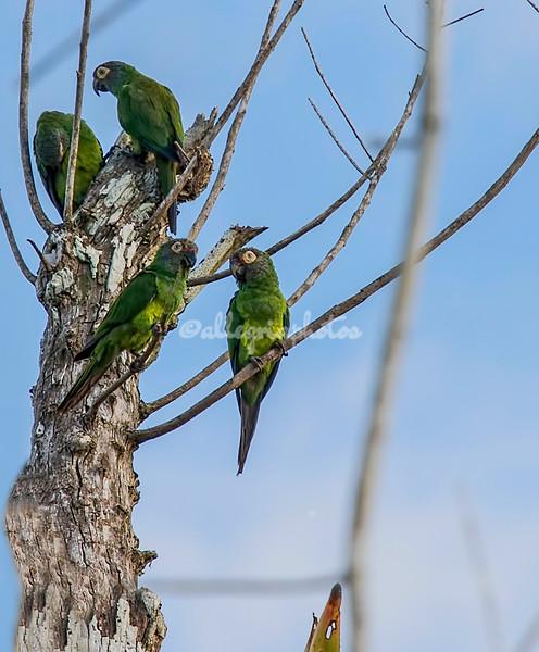 Dusky parakeets