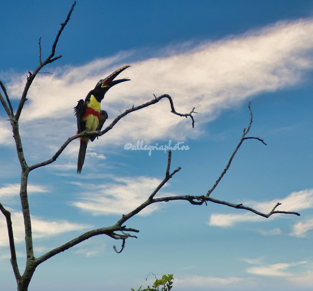 Chestnut eared toucan