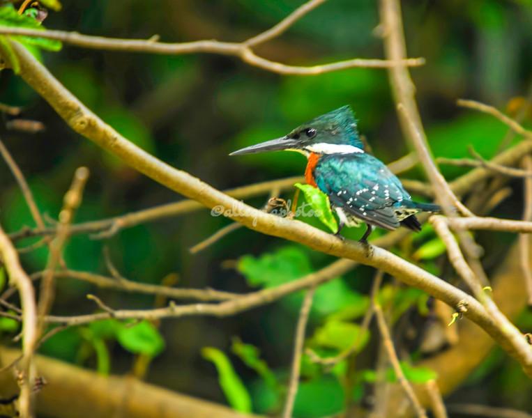 Green and rufus kingfisher