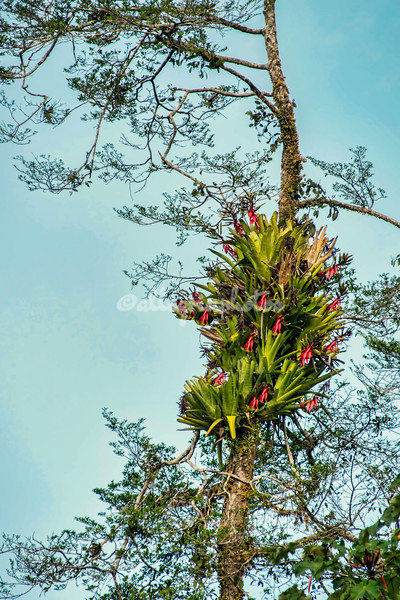 Bromellia flowers