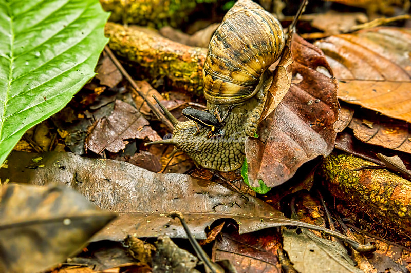 Poison dart frog and snail