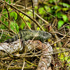Crested green iguana