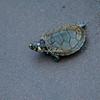 Green back turtle