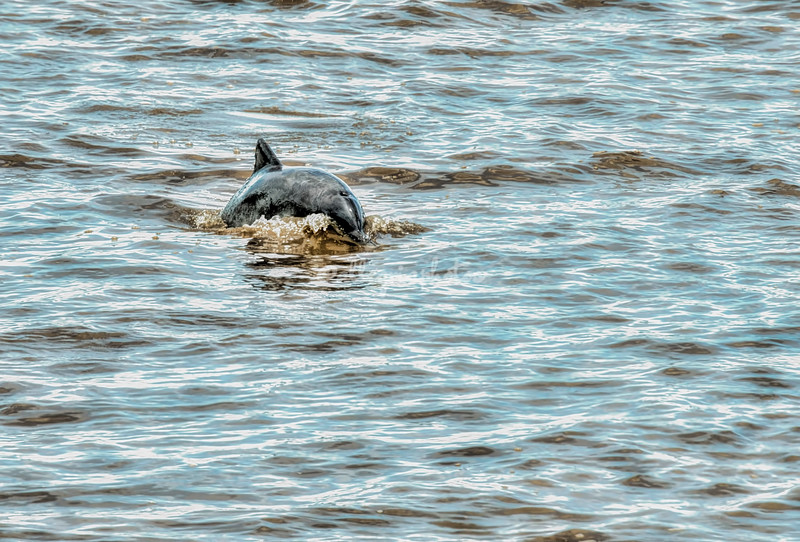 Freshwater grey river dolphin