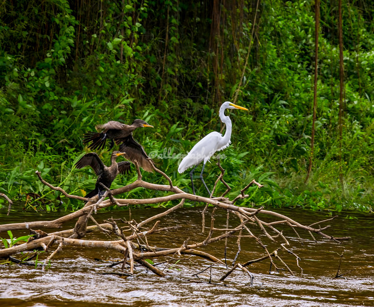 Neo tropical Cormorants and great white egret