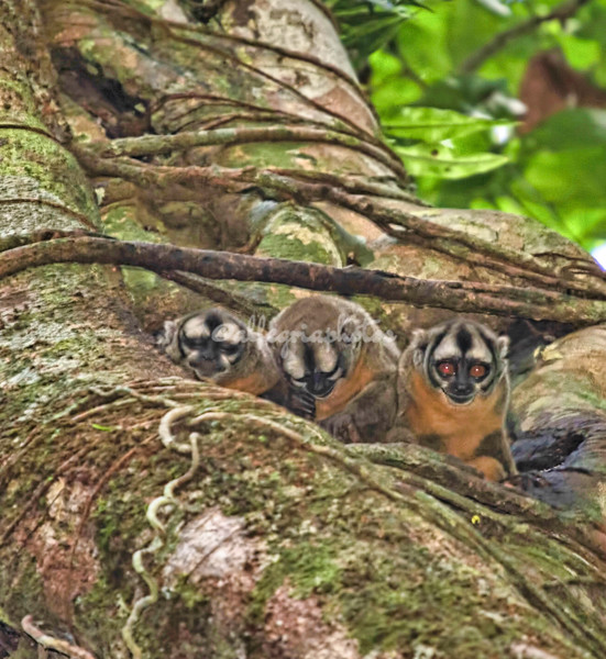 Owl Monkeys