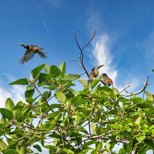 Chestnut eared Aracaris