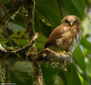 Ferruginous Pygmy Owl - Yankuam