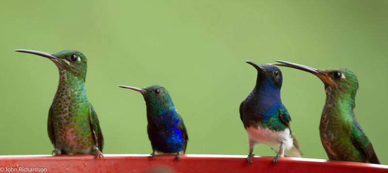 Green-crowned Brilliants, Violet-bellied Hummingbird, White-necked Jacobin - Bunenaventura