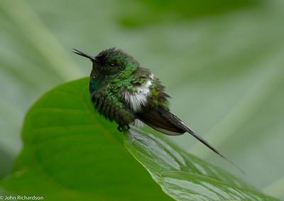 Green Thorntail - Buenaventura