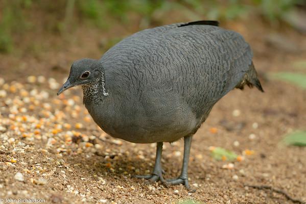 Grey Tinamou - Copalinga