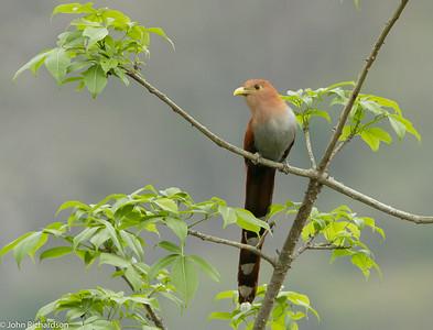 Squirrel Cuckoo - Jorupe