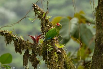 El Oro Parakeet - Buenaventura