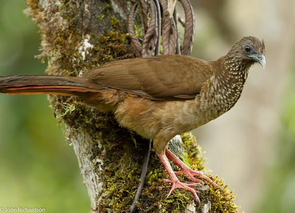 Speckled Chachalaca - Copalinga