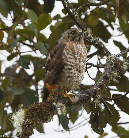 Broad-winged Hawk - Tapichalaca