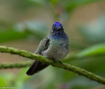 Violet-headed Hummingbird - Copalinga