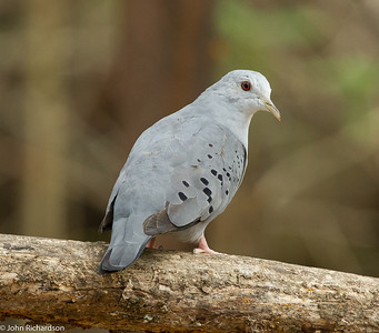 Blue Ground-Dove - Jorupe
