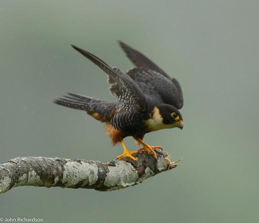 Bat Falcon - Buenaventura