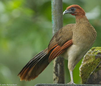 Rufous-headed Chachalaca - Buenaventura