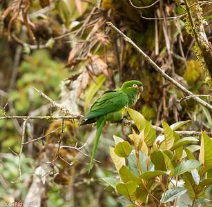 Golden-plumed Parakeet - Tapichalaca