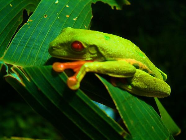 tree frog, Costa Rica