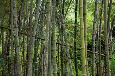 Guadua Trees, Sasaima
