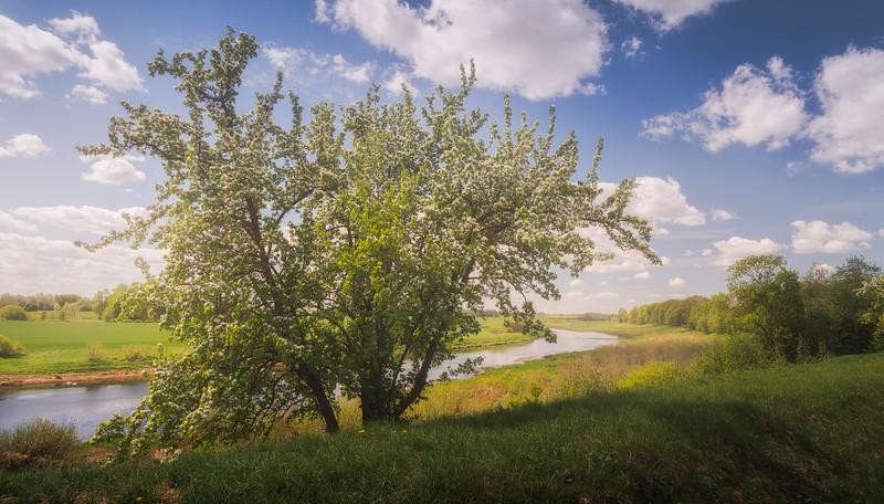Mayday Tree