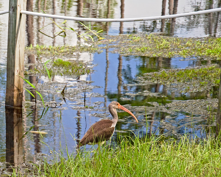 Stalking Lunch in the Okefenokee