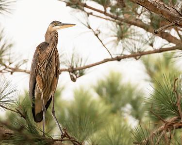 Heron Overlooking Laura S Walker