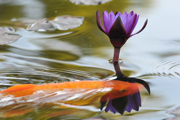 DSC_4998 SJC koi and waterlily