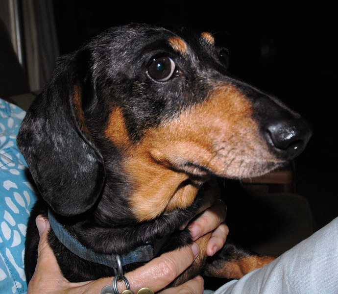 Still worried......<br /> Sad news, Charlie the Daschund passed away on the 8th of September, 2006.  He became paralyzed in 2004, then did his best scooting about like a mermaid-dog and making my parents happy and very busy.  We will miss you, Charlie.