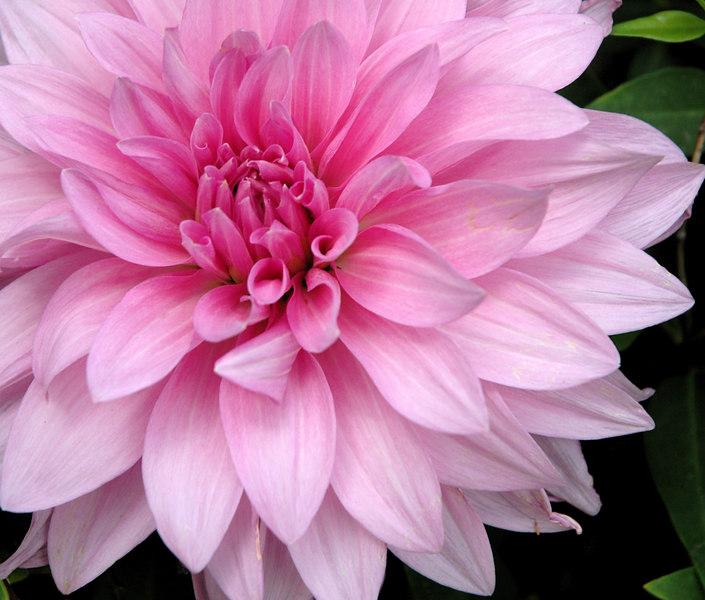 Pink Dahlia detail