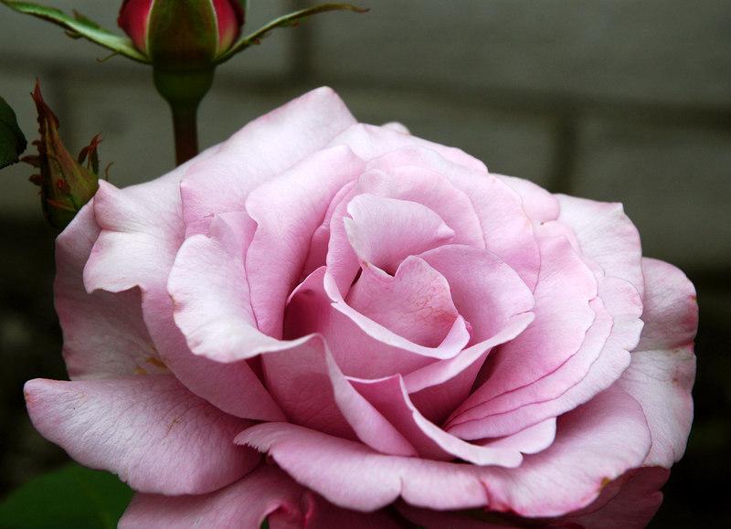 rose in Karen's backyard, captured in overcast diffused light