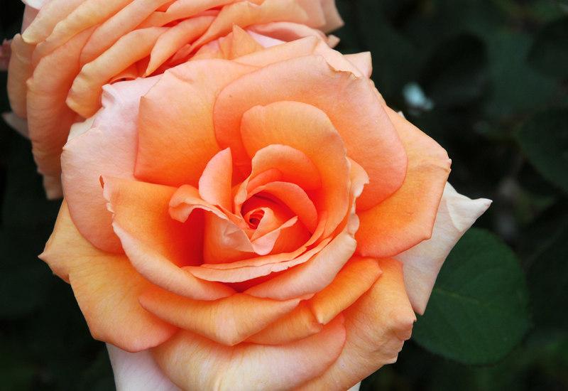 Roses in Karen's backyard, shot in overcast light
